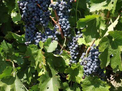 Francuske vinske sorte grožđa – PRODAJA